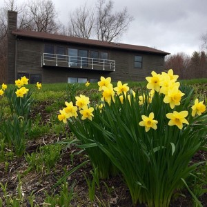 Also -- finally -- Spring! #daffodils #artistresidency #artistretreat #flx #springishere…