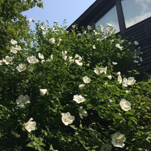 Always forget about our one blooming Rose of Sharon roseofsharonhellip